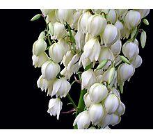 Yucca  treculeana Carr. flower Photographic Print