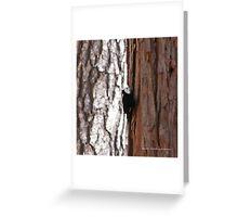 White Headed Wood Pecker Greeting Card