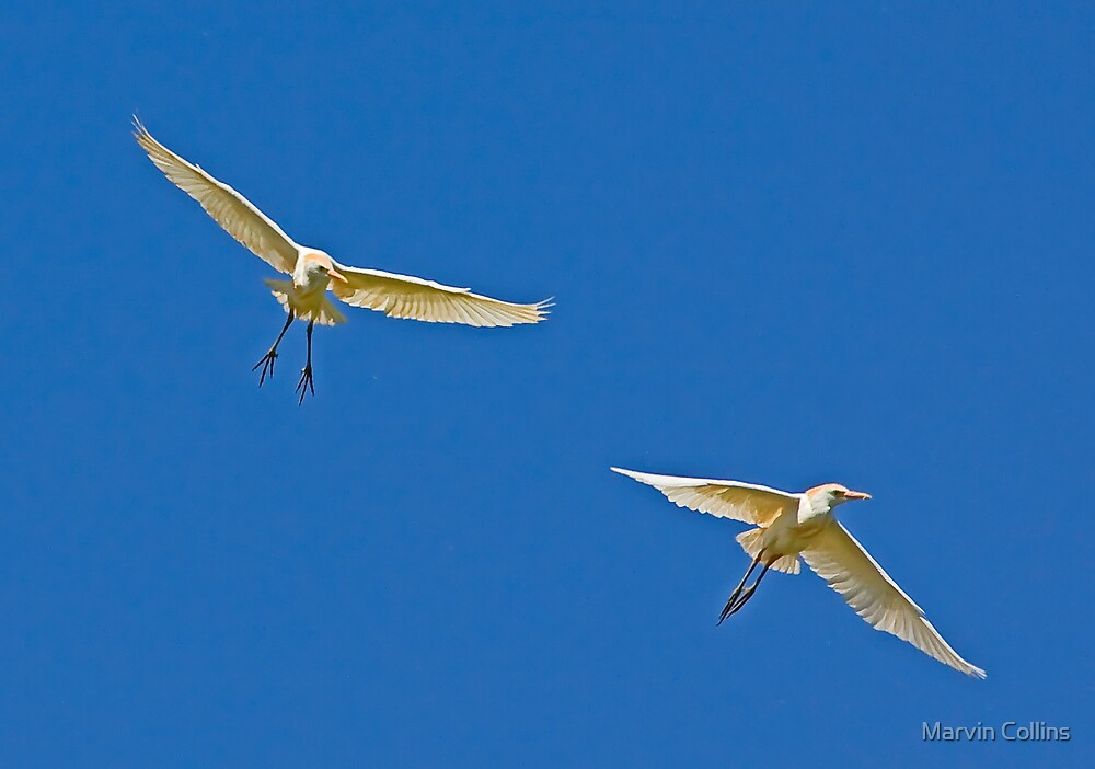 040509 Cattle Egrets by Marvin Collins