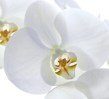 White Orchid by JoMann