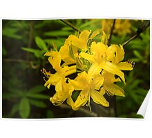 Golden Azaleas Poster