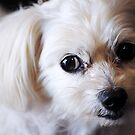 Puppy Eyes by Alvin Wong
