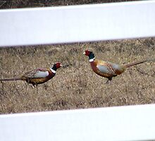 Pheasants establishing territories by DonnaMoore