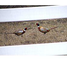 Pheasants establishing territories Photographic Print