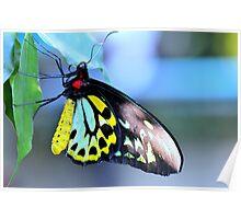 Cairns Birdwing Butterfly V Poster