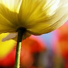 Poppy colors by JoMann