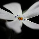 White Phlox Macro by Astrid Ewing Photography