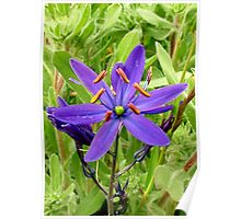 Wild Hyacinth Poster