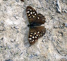 Speckled Wood Butterfly by Art Hut