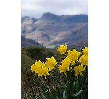 Daffodil Mountain Photographic Print