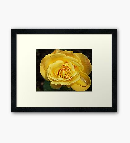 Yellow Rose Framed Print