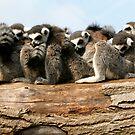 Lemurs by Robert Kendall