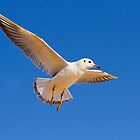 Gull in Flight by Terry Cooper