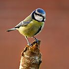 Blue Tit by Terry Cooper