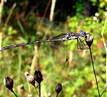 Preying Spreadwing Damselfly - Genus Lestes & a  Very Small Spider by Chuck Gardner