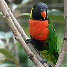 Rainbow Lorikeet by Virginia N. Fred