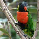 Rainbow Lorikeet by Virginia N. Fred