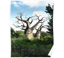 Old Baobab Tree Poster