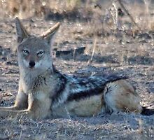 """PERFECT POSE of the """"BLACK-BACKED JACKAL"""" by Magaret Meintjes"""