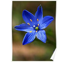 Blue Star Lily (Thelionema grande) Poster
