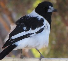Butcher Bird by Tania Hauser