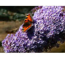 Butterfly  and  Buddlia Photographic Print