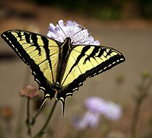 Swallowtail butterfly by anibubble