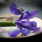 Single purple Iris by Joyce Knorz