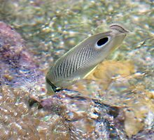 Butterfly fish by anibubble