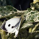 Large White by PhillJ