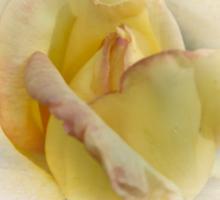 Emerging Beauty Rose Sticker