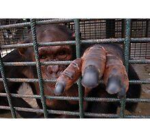 Chimp Bars Photographic Print