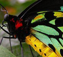 Ornithoptera priamus by Karin Lewis