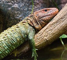 Northern Caiman Lizard by anibubble
