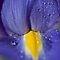 Iris Drop by Kathy Weaver