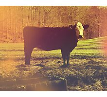 On The Farm - Photography - Nature Photography - Cow Photographic Print
