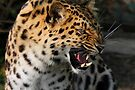 Angry Leopard by SWEEPER