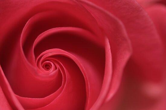 Rose Twirl by Friendly Photog