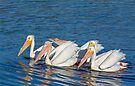 American White Pelicans by Kenneth Keifer