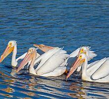 American White Pelicans by Kenneth Keifer