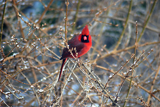 Cardinal by Anne Smyth
