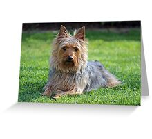 An adult male Silky Terrier. Greeting Card