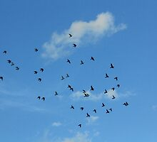 Birds migration by Shah-rah