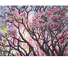 The Dogwood Tree Photographic Print