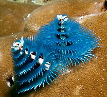 Christmas Tree Worms by Marcel Botman