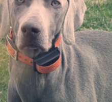 Weimaraner - Animal Photography Sticker