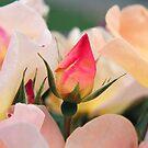 Rose Bud by JoMann