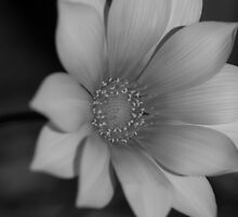 Flower in Black and White by Limitlessonline