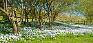 Blue and White Daisys in Spring: Leeds Castle Kent UK by DonDavisUK