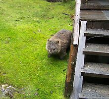 Wombat emerging from under the stairs at Waldheim, Cradle Mountain. Tasmania by Marilyn Baldey